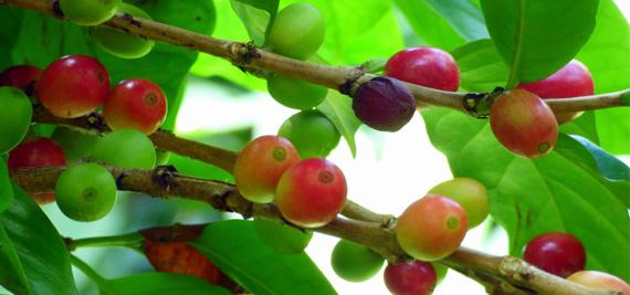 ประวัติกาแฟสายพันธุ์โรบัสต้าของไทย